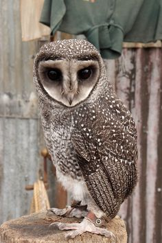 A greater sooty owl at Caversham Wildlife Park, Western Australia.