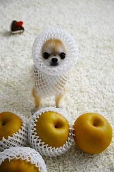 Apple-head chihuahua...lol