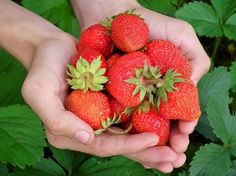 En esta ocasión os vamos a enseñar como conseguir semillas de fresas para vuestro huerto casero. Si hay una fruta que siempre es apetecible por su forma, p