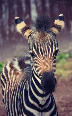 130 Best Zebra Images Giraffes Zebra Print Animal Pictures