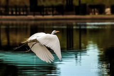 Birds Art Print featuring the photograph Flying Egret by Robert Bales