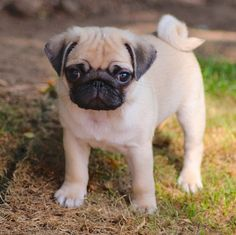 Pugs have a special place in my heart <3