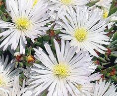 50 + semillas/paquete Delosperma Blanco Hielo Planta Las Semillas de…