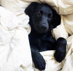 University of California Davis Alpha Phi : Photo Black Lab Puppies, Cute Dogs And Puppies, Baby Dogs, I Love Dogs, Pet Dogs, Dog Cat, Doggies, Pet Vet, Schwarzer Labrador Retriever