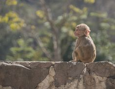 Lonely baby Monkey in Monkey Temple Jaipur India