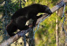 "beautiful-wildlife: "" Wolverine (Gulo gulo) climbing on a tree by Erik Mandre "" Forest Animals, Nature Animals, Amphibians, Mammals, Reptiles, Wild Animals Photos, Wolverines, Find Picture, Outdoor Life"