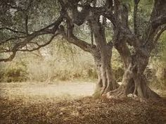 Olives Trees Have Kurdish Roots - Green Prophet Wild Olive, Tree Images, Olive Tree, Weird And Wonderful, Tree Of Life, Olive Oil, Image Search, Roots, Trees