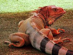 Red Iguana - beautiful
