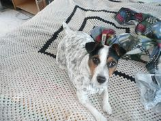 Fenda and Dylan: My name is Fenda - I am a foxy Jack Russell