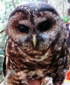 Young adult spotted owl with biologist by umpquawild, via Flickr