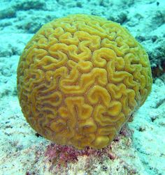 Grooved-Brain Coral  [Diploria labyrinthiformis] --- Brain coral is a common name given to corals in the family Faviidae so called due to their generally spheroid shape and grooved surface which resembles a brain. Each head of coral is formed by a colony of genetically -dentical polyps which secrete a hard skeleton of calcium carbonate; this makes them important coral reef builders like other stony corals.