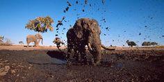 Elefanten sind die größten heute lebenden Landsäugetiere der Erde! Helfe mit, den Überlebensraum für Elefanten in Afrika zu schützen und Teil des WWF-Rettungsplans zu werden: bit.ly/zuPPSh   © naturepl.com / Andy Rouse / WWF
