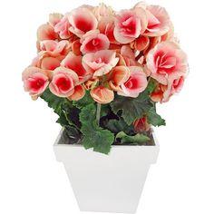 Begônia (plantas do gênero Begonia): essas plantas apresentam muitas variações, mas muitas mesmo! São diferentes formas e cores, com possibilidades para você diversificar o seu santinho verde. Elas crescem bem tanto em canteiro quanto em vasos ou jardineras.