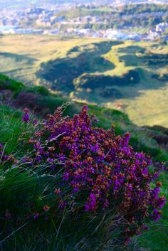 There's lots of flora and fauna to discover on walks around Holyrood Park - our Ranger Service do free guided tours, keep an eye on our website for details! #heather #nature #explore