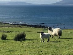 Picture gallery and video showing Ocean View Cottage and Louisburgh Sheep, Cottage, Ocean, Gallery, Pictures, Animals, Image, Photos, Animales