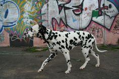 Dalmatian Lika. June 2012