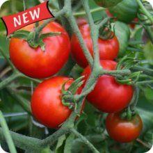 Sasha's Altai Heirloom Tomato  location: deck pot (good flavor, fair overall)