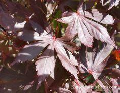 Palmatum Margaret Bee Davidsans Japanese Maples Japanese Maple
