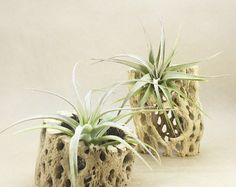 Cholla Wood with Tillandsia plant airplant by SudsByStacyandMore