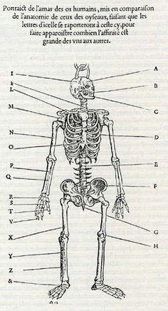 Human skeleton for comparison with that of birds. Pierre Belon, Nature des oyseaux (The nature of birds), Paris 1555