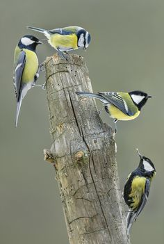 "emuwren: "" The Great Tit - Parus major, is a passerine bird in the tit family Paridae. It is a widespread and common species throughout Europe, the Middle East, Central and Northern Asia, and parts of..."