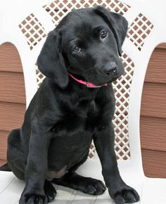 Hattie the Labrador Retriever puppy - such a cutie!