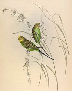 Warbling Grass Parakeets: Wild Budgerigars: lithograph by John Gould (1840s)