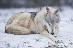 Okay wild wolf, beautiful wolves, beautiful creatures, animals beau Wolf Spirit, Spirit Animal, Beautiful Creatures, Animals Beautiful, Wolf Poses, Wolf Pictures, Wild Wolf, Beautiful Wolves, Majestic Animals