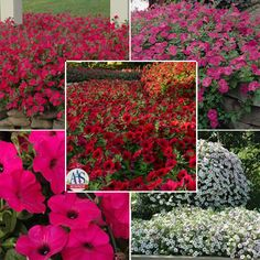 Petunia Tidal Wave Collection - Tidal Wave Series F1 - Petunia, Spreading - Flower Seed | Harris Seeds
