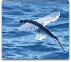Is it a bird - no its a fish!