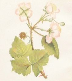 Antique Botanical print by Anne Pratt titled Common Bramble of Blackberry. Pratt was one of the best known botanical illustrators of the time. The prints overall paper size is 4 by 5 1/2 inches, with the prints itself being 4 by 3 inches approximately. Jack B, Gallery Website, Vintage Botanical Prints, Bramble, Antique Maps, See Picture, Natural History, Prints For Sale, Paper Size