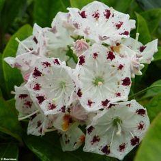 Kalmia latifolia Freckles - Laurier des montagnes