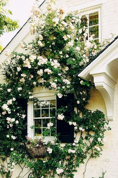 Climbing roses from Tyler, Tx