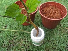Growing mulberry plants from cuttings Mulberry Plant, Mulberry Bush, Plant Cuttings, Propagation, Grafting Plants, Raspberry Plants, Blue Berry, Garden Oasis, Fruit Trees