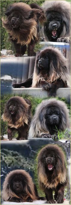 i want this dog!?!? Wow! What a Tibetan Mastiff!. I may be in love #dog #mastiff #animal