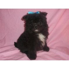 Black Poms are so cute..Like my Milly!