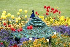 A peacock in Wilhelma Stuttgart, Germany relaxing in a tulip patch