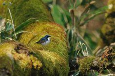 Siberian blue robin by Mubi.A