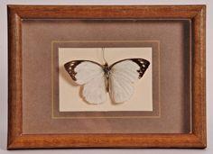 Opgezette vlinder in oude lijst - V0008