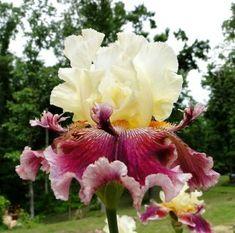 Tall Bearded Iris Flowers | Tall Bearded Florence Dayton Iris Red Rose Wine 02 Perennial Plant