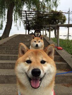 Shiba inu Trio!