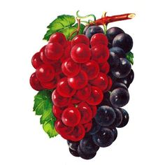 Vintage Grape Clip Art: Vintage Graphic of 2 Grape Varieties Salem and Worden Watercolor Fruit, Fruit Painting, Fabric Painting, Watercolor Paintings, Fruit Illustration, Food Illustrations, Food Clipart, Diy And Crafts, Paper Crafts