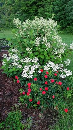 Stunning Quickfire Hydrangeas with a carpet rose border. Flowering Shrubs, Trees And Shrubs, Quick Fire Hydrangea, Soil Ph, Hydrangeas, Dried Flowers, Colorful Flowers, Perennials, Landscape Design