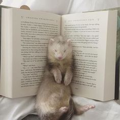 Draco fell asleep in the book. It's not a pillow it's for reading not sl… Draco fell asleep in the book. It's not a pillow it's for reading not sleeping ya bloody ferret! Cute Creatures, Beautiful Creatures, Animals Beautiful, Cute Little Animals, Cute Funny Animals, Tier Zoo, Pet Ferret, Chinchilla, Funny Animals