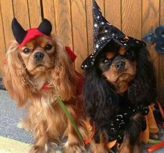 Oh my, cuteness overload! Cavaliers ready for Halllween.