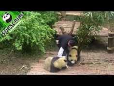 Pandas like nanny's boots so much - YouTube
