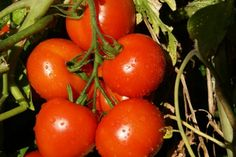 How to trim and care for tomatoes. Tomato plants are a notoriously tricky crop to care for. But with a few good tips, you can be sure of getting a great harvest for the money, time and effort you spend on caring for your tomato plants. Tomato Garden, Vegetable Garden, Garden Plants, Growing Tomatoes, Growing Vegetables, Green Tomatoes, Cherry Tomatoes, Como Plantar Banana, Organic Gardening