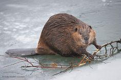 beavers | Life Mates