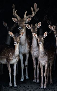 Whole Family Of Eastern White Tail Deer