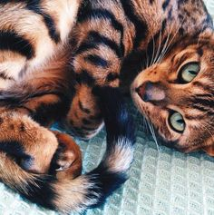 What a beautiful cat.